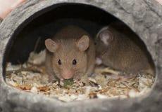 Ratón de casa Imagen de archivo