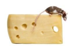 Ratón de casa encaramado encima del queso Imagenes de archivo