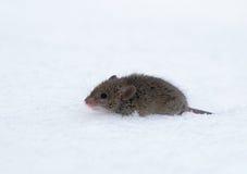 Ratón de casa (musculus de Mus) Imagenes de archivo