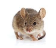 Ratón de casa (musculus de Mus) Foto de archivo