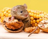 Ratón de casa (musculus de Mus) con la nuez y el maíz fotografía de archivo