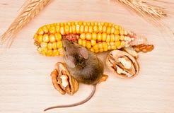 Ratón de casa (musculus de Mus) que come la nuez y el maíz Fotos de archivo libres de regalías
