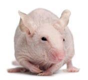 Ratón de casa sin pelo, musculus de Mus foto de archivo