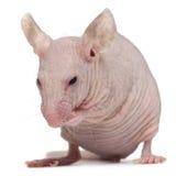 Ratón de casa sin pelo, musculus de Mus fotos de archivo libres de regalías