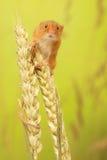 Ratón de cosecha Foto de archivo libre de regalías
