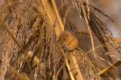 Ratón de cosecha en cañas fotos de archivo