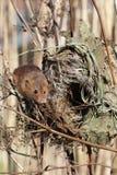 Ratón de cosecha, minutus de Micromys Fotos de archivo libres de regalías