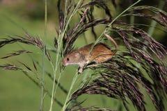 Ratón de cosecha, minutus de Micromys Foto de archivo libre de regalías