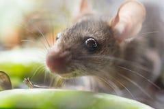 Ratón de Cuty Imagen de archivo libre de regalías