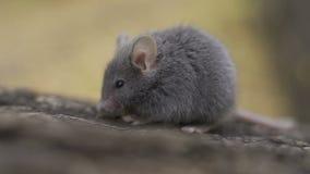 Ratón de madera salvaje que descansa sobre la raíz de un árbol en el piso del bosque almacen de video
