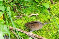 Ratón del abedul del bosque (betulina de Sicista) Foto de archivo
