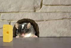 Ratón en agujero Foto de archivo libre de regalías