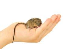 Ratón en el brazo Imagenes de archivo