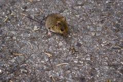 Ratón en el camino Imagen de archivo libre de regalías