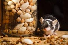 Ratón en el sótano viejo con las hierbas Fotos de archivo