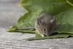 Ratón en la hoja Imagen de archivo