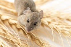 Ratón en trigo fotografía de archivo