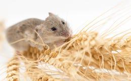 Ratón en trigo fotografía de archivo libre de regalías