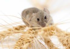 Ratón en trigo foto de archivo