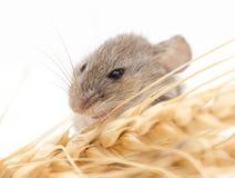 Ratón en trigo imagenes de archivo