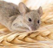 Ratón en trigo imagen de archivo libre de regalías