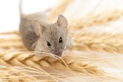 Ratón en trigo imágenes de archivo libres de regalías