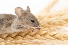 Ratón en trigo fotos de archivo