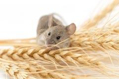 Ratón en trigo foto de archivo libre de regalías