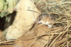 Ratón espinoso africano imagenes de archivo