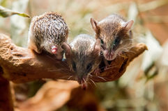 Ratón espinoso africano meridional imágenes de archivo libres de regalías