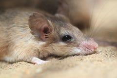 Ratón espinoso de Asia Menor foto de archivo libre de regalías