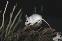 Ratón espinoso de Egyptain, demidiatus de Acomys fotografía de archivo libre de regalías