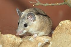 Ratón espinoso de Turquía imagen de archivo