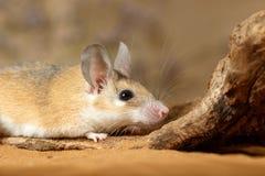 Ratón espinoso femenino del primer que oculta detrás del gancho en la arena imagen de archivo