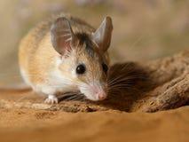 Rat?n espinoso femenino del primer que oculta detr?s del gancho en la arena imagen de archivo libre de regalías