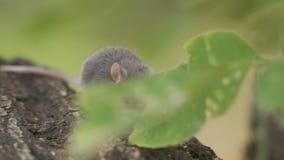 Ratón gris en un tronco de árbol almacen de metraje de vídeo