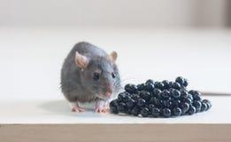 Ratón, gris lindo de la rata heces y concepto de las heces contra imágenes de archivo libres de regalías