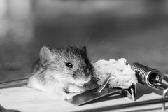 Ratón gris o rata de la casa linda en la ratonera con cebo imagen de archivo libre de regalías