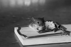 Ratón gris o rata de la casa linda en la ratonera con cebo fotos de archivo
