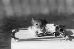 Ratón gris o rata de la casa linda en la ratonera con cebo foto de archivo libre de regalías