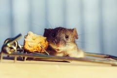 Ratón gris o rata de la casa linda en la ratonera con cebo fotografía de archivo libre de regalías