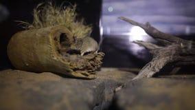 Ratón que corre dentro de su jaula metrajes