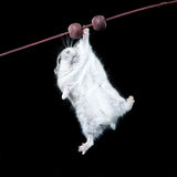 Ratón que sostiene encendido una ramita Fotografía de archivo