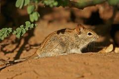 Ratón rayado Fotos de archivo