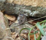 Ratón vivo en piedra e hierba Fotografía de archivo