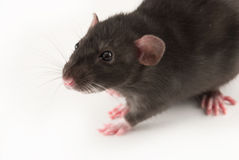 rat à la maison Image stock