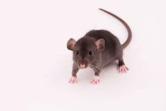 Rat à la maison Photographie stock