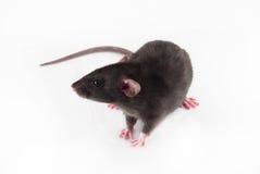 Rat à la maison en fonction Photographie stock