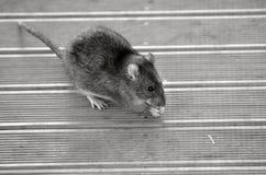 Rat äter mat från golvet Arkivfoto