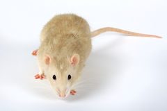 Rat. Cute rat on light background Royalty Free Stock Photography